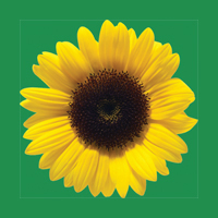 Sunflower Silicon Wristband (adult)